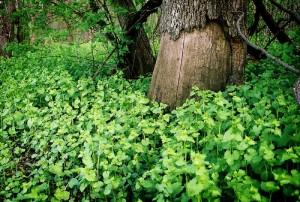 wild mint illinois