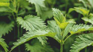 Bioregional Herbalism Course Stinging Nettles